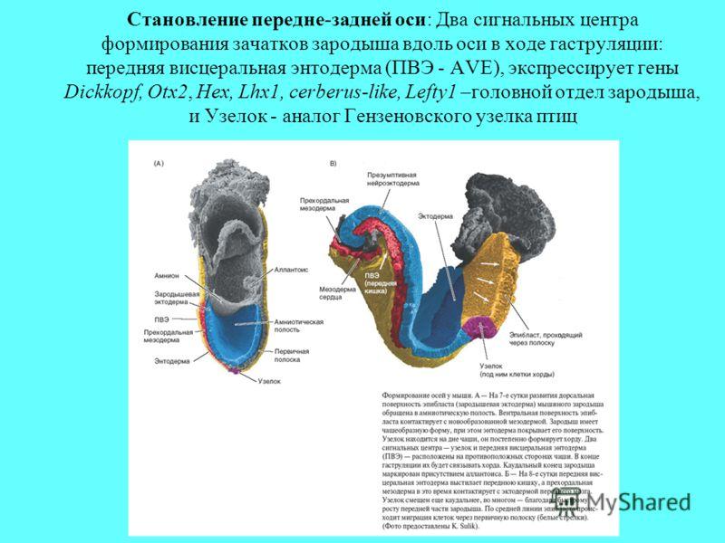 Становление передне-задней оси: Два сигнальных центра формирования зачатков зародыша вдоль оси в ходе гаструляции: передняя висцеральная энтодерма (ПВЭ - AVE), экспрессирует гены Dickkopf, Otx2, Hex, Lhx1, cerberus-like, Lefty1 –головной отдел зароды