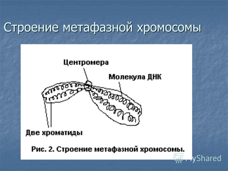 Строение метафазной хромосомы
