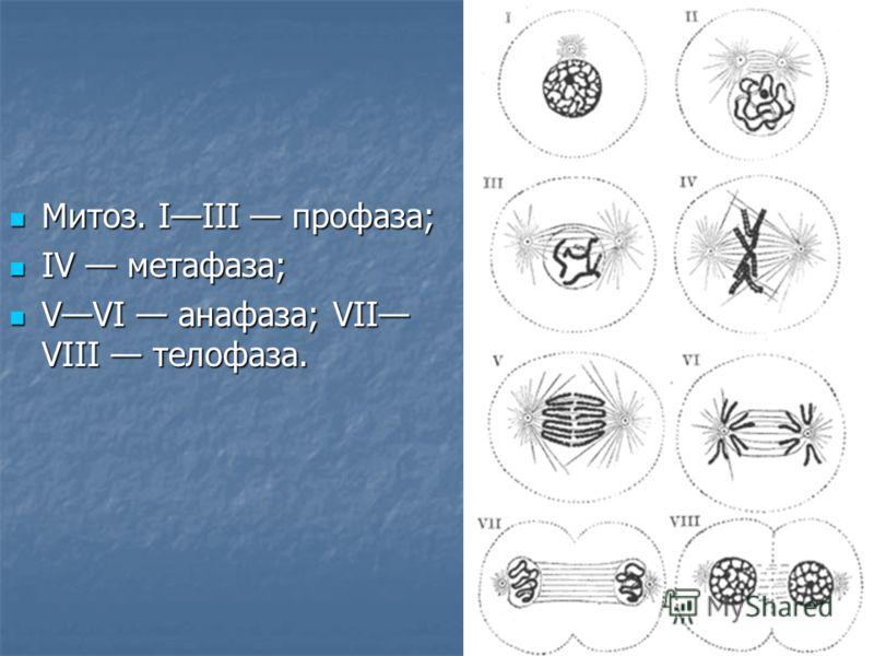 Митоз. IIII профаза; Митоз. IIII профаза; IV метафаза; IV метафаза; VVI анафаза; VII VIII телофаза. VVI анафаза; VII VIII телофаза.