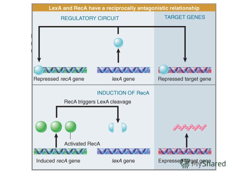 lexA, recA, uvrA, uvrB, and uvrD Филаменты Rec A стимулируют аутопротеолиз Lex A При снижении концентрации Lex A сначала активируются, гены, контролируемые операторами, в состав которых входят низкоафинные Lex A боксы При дальнейшем снижении уровня L