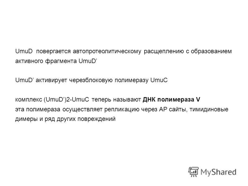 UmuD повергается автопротеолитическому расщеплению с образованием активного фрагмента UmuD UmuD активирует черезблоковую полимеразу UmuC комплекс (UmuD)2-UmuC теперь называют ДНК полимераза V эта полимераза осуществляет репликацию через AP сайты, тим
