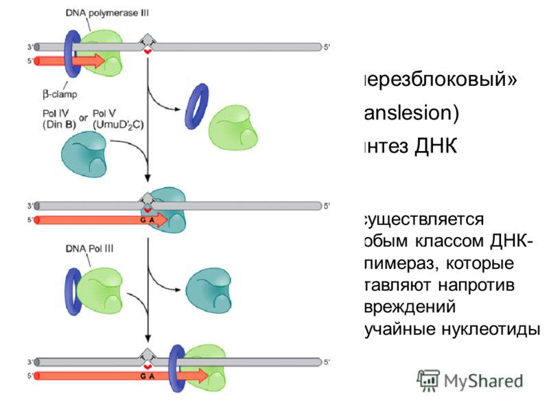 «черезблоковый» (translesion) синтез ДНК Осуществляется особым классом ДНК- полимераз, которые вставляют напротив повреждений случайные нуклеотиды