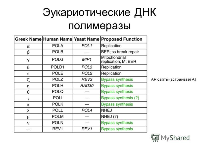 Эукариотические ДНК полимеразы АР сайты (встраивает А)