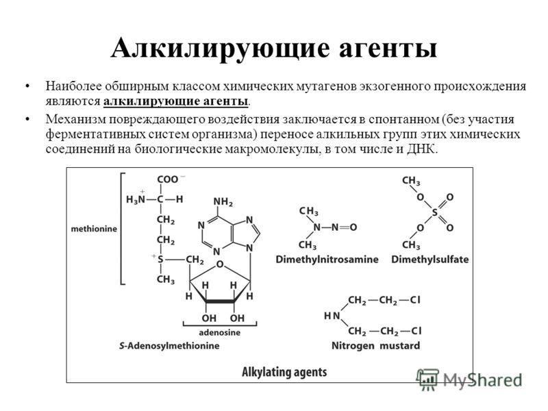 Алкилирующие агенты Наиболее обширным классом химических мутагенов экзогенного происхождения являются алкилирующие агенты. Механизм повреждающего воздействия заключается в спонтанном (без участия ферментативных систем организма) переносе алкильных гр
