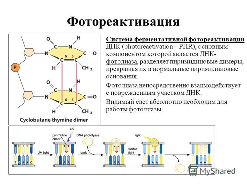 Фотореактивация Система ферментативной фотореактивации ДНК (photoreactivation – PHR), основным компонентом которой является ДНК- фотолиаза, разделяет пиримидиновые димеры, превращая их в нормальные пиримидиновые основания. Фотолиаза непосредственно в