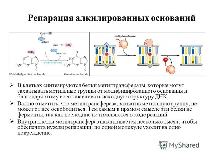 Репарация алкилированных оснований В клетках синтезируются белки метилтрансферазы, которые могут захватывать метильные группы от модифицированного основания и благодаря этому восстанавливать исходную структуру ДНК. Важно отметить, что метилтрансфераз