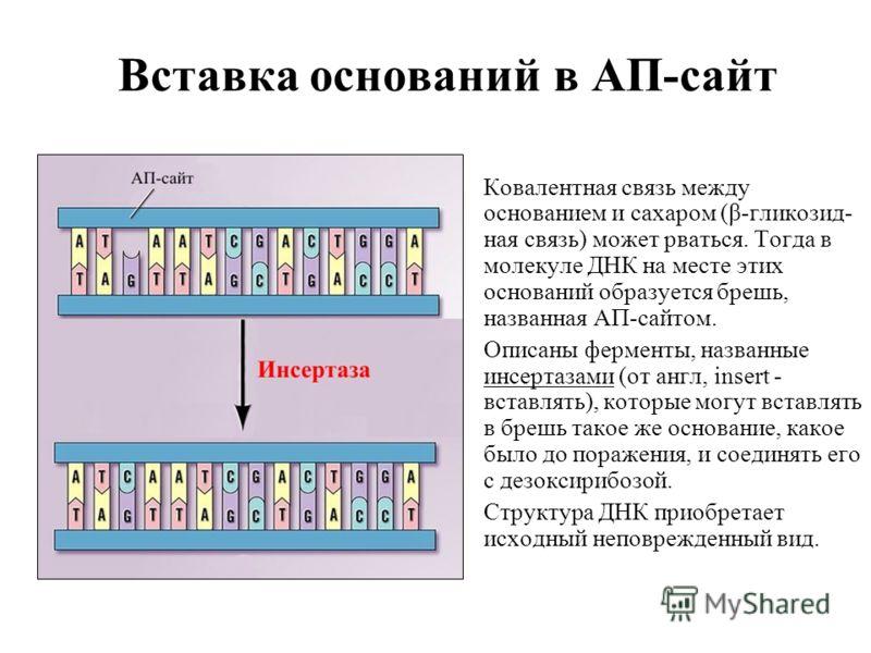 Вставка оснований в АП-сайт Ковалентная связь между основанием и сахаром (β-гликозид- ная связь) может рваться. Тогда в молекуле ДНК на месте этих оснований образуется брешь, названная АП-сайтом. Описаны ферменты, названные инсертазами (от англ, inse