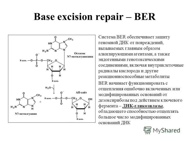 Base excision repair – BER Система BER обеспечивает защиту геномной ДНК от повреждений, вызываемых главным образом алкилирующими агентами, а также эндогенными генотоксическими соединениями, включая внутриклеточные радикалы кислорода и другие реакцион