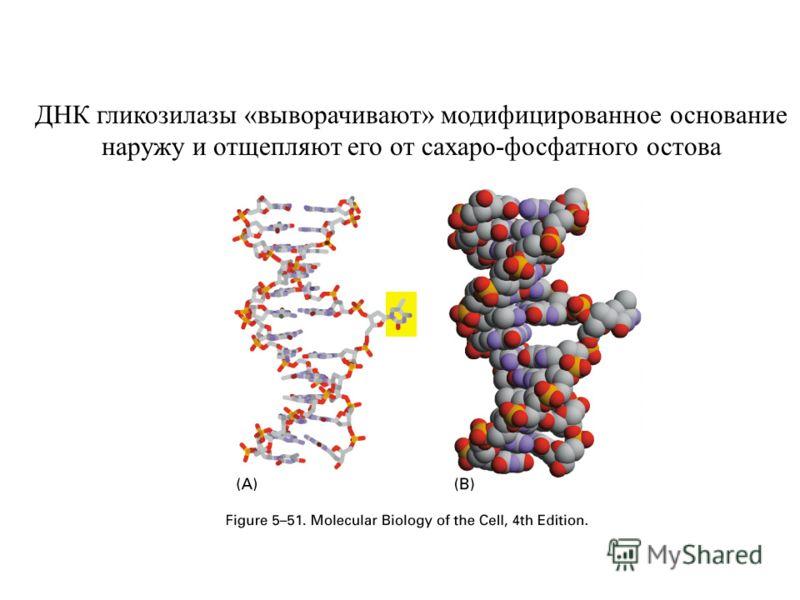 ДНК гликозилазы «выворачивают» модифицированное основание наружу и отщепляют его от сахаро-фосфатного остова