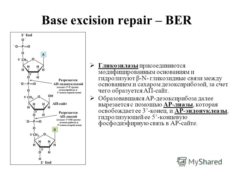 Base excision repair – BER Гликозилазы присоединяются модифицированным основаниям и гидролизуют β-N- гликозидные связи между основанием и сахаром дезоксирибозой, за счет чего образуется АП-сайт. Образовавшаяся АР-дезоксирибоза далее вырезается с помо