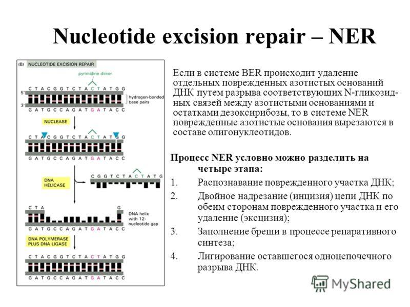 Nucleotide excision repair – NER Процесс NER условно можно разделить на четыре этапа: 1.Распознавание поврежденного участка ДНК; 2.Двойное надрезание (инцизия) цепи ДНК по обеим сторонам поврежденного участка и его удаление (эксцизия); 3.Заполнение б