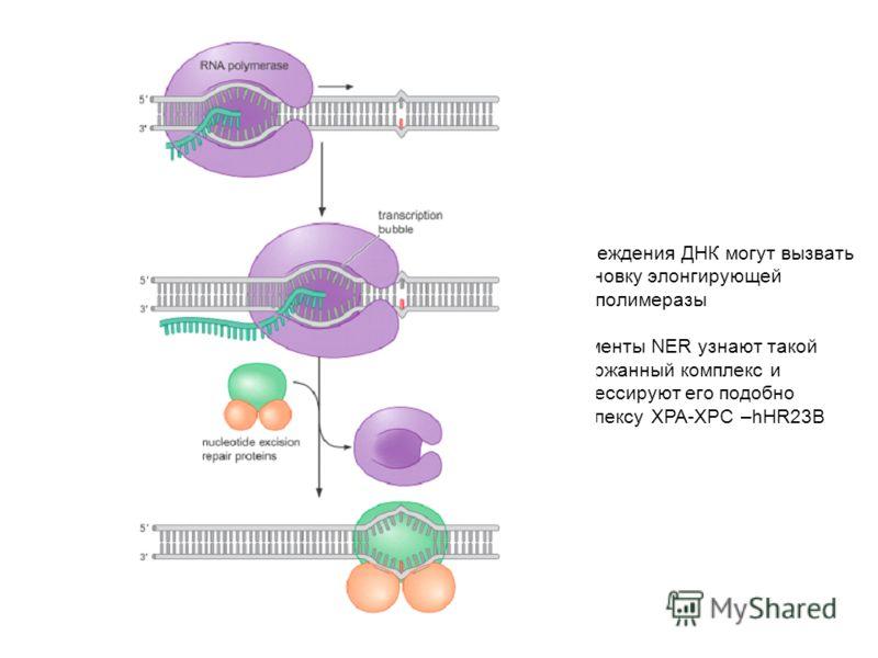 Повреждения ДНК могут вызвать остановку элонгирующей РНК-полимеразы Ферменты NER узнают такой задержанный комплекс и процессируют его подобно комплексу XPA-XPC –hHR23B