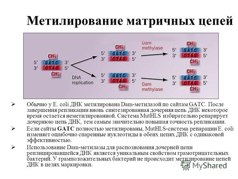 Метилирование матричных цепей Обычно у E. coli ДНК метилирована Dam-метилазой по сайтам GATC. После завершения репликации вновь синтезированная дочерняя цепь ДНК некоторое время остается неметилированной. Система MutHLS избирательно репарирует дочерн