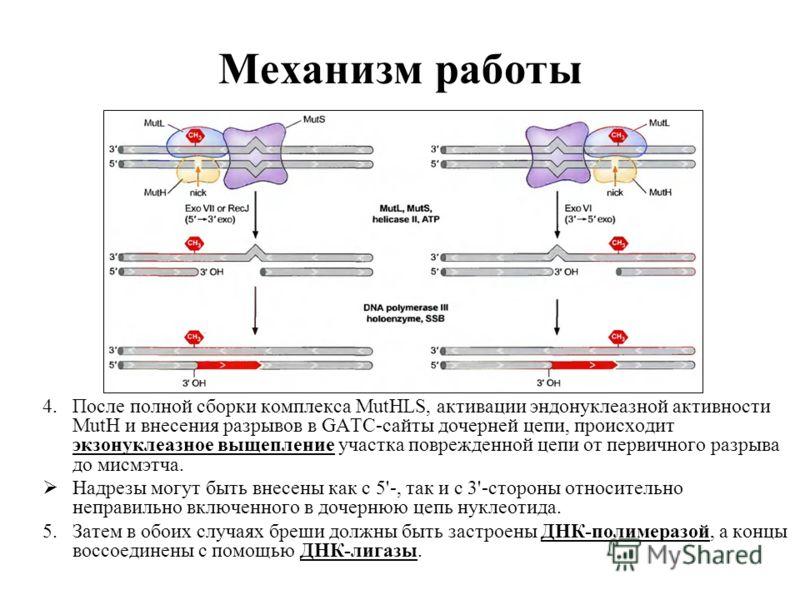 Механизм работы 4.После полной сборки комплекса MutHLS, активации эндонуклеазной активности MutH и внесения разрывов в GATC-сайты дочерней цепи, происходит экзонуклеазное выщепление участка поврежденной цепи от первичного разрыва до мисмэтча. Надрезы