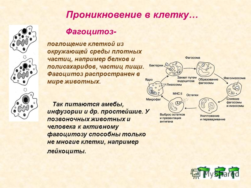 Проникновение в клетку… Фагоцитоз- поглощение клеткой из окружающей среды плотных частиц, например белков и полисахаридов, частиц пищи. Фагоцитоз распространен в мире животных. Так питаются амебы, инфузории и др. простейшие. У позвоночных животных и