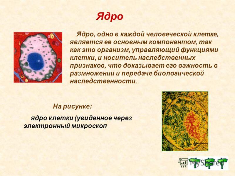 Ядро Ядро, одно в каждой человеческой клетке, является ее основным компонентом, так как это организм, управляющий функциями клетки, и носитель наследственных признаков, что доказывает его важность в размножении и передаче биологической наследственнос