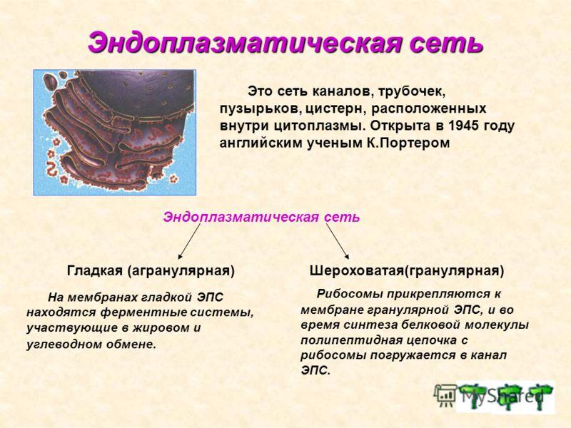 Эндоплазматическая сеть Эндоплазматическая сеть Это сеть каналов, трубочек, пузырьков, цистерн, расположенных внутри цитоплазмы. Открыта в 1945 году английским ученым К.Портером Эндоплазматическая сеть Гладкая (агранулярная)Шероховатая(гранулярная) Н