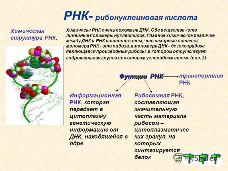 РНК- рибонуклеиновая кислота Химическая структура РНК. Химически РНК очень похожа на ДНК. Оба вещества - это линейные полимеры нуклеотидов. Главное химическое различие между ДНК и РНК состоит в том, что сахарный остаток мономера РНК - это рибоза, а м