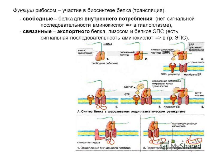 Рибосомы - немембранные органоиды - состоят из двух субъединиц: малой и большой 8070S - в клетке эукариот два вида рибосом - 80 (в гиалоплазме и гр. ЭПС ) и 70 S (в митохондриях) (S - единицы седиментации при дифференциальном центрифугировании) В сос