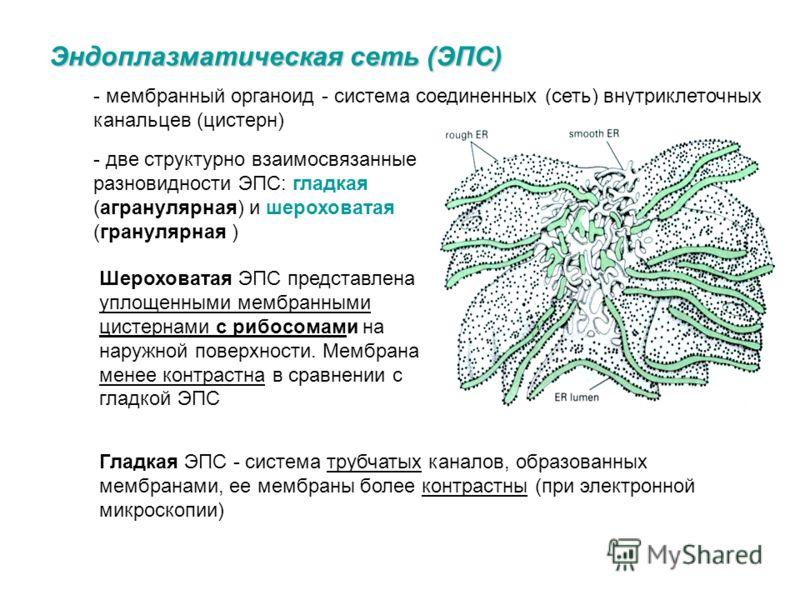 Функции рибосом – участие в биосинтезе белка (трансляция). - свободные – белка для внутреннего потребления (нет сигнальной последовательности аминокислот => в гиалоплазме), - связанные – экспортного белка, лизосом и белков ЭПС (есть сигнальная послед