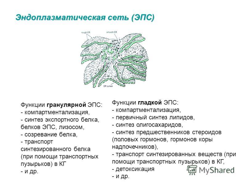 Эндоплазматическая сеть (ЭПС) - мембранный органоид - система соединенных (сеть) внутриклеточных канальцев (цистерн) - две структурно взаимосвязанные разновидности ЭПС: гладкая (агранулярная) и шероховатая (гранулярная ) Гладкая ЭПС - система трубчат