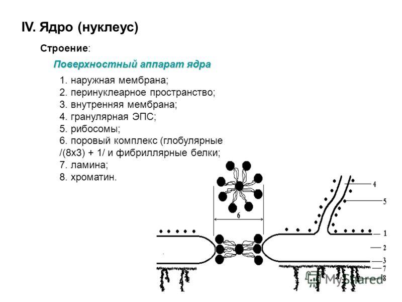 Митохондрии Функции митохондрий: - компартментализация - синтез АТФ (энергетическая), - синтез белка для местного потребления, - синтез ДНК и РНК (генетическая)