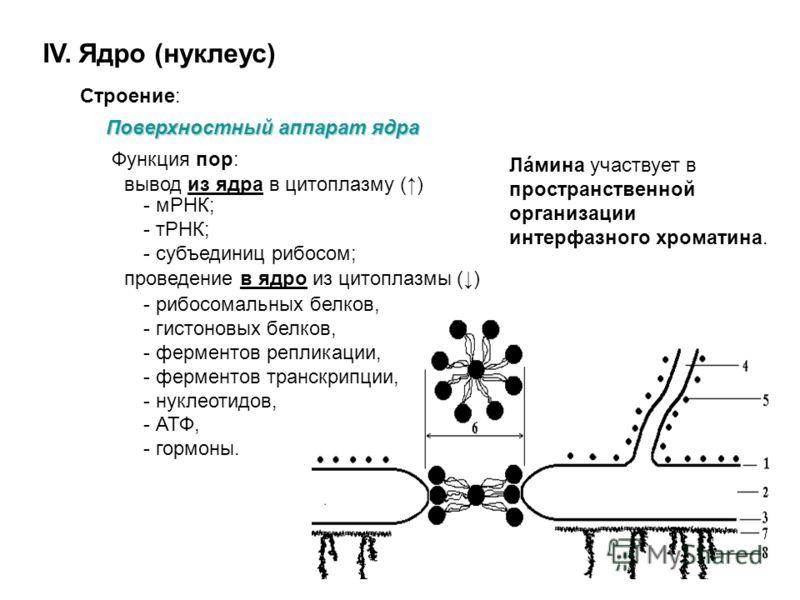 IV. Ядро (нуклеус) Строение: Поверхностный аппарат ядра 1. наружная мембрана; 2. перинуклеарное пространство; 3. внутренняя мембрана; 4. гранулярная ЭПС; 5. рибосомы; 6. поровый комплекс (глобулярные /(8х3) + 1/ и фибриллярные белки; 7. ламина; 8. хр