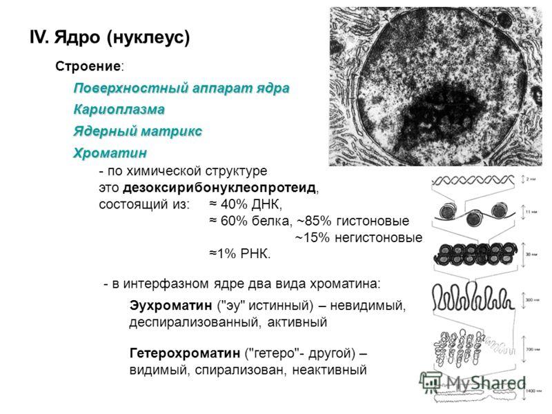 IV. Ядро (нуклеус) Строение: Поверхностный аппарат ядра Кариоплазма Ядерный матрикс - фибриллярные белки, создающие скелет ядра и функциональные белки, участвующие в репликации и транскрипции.