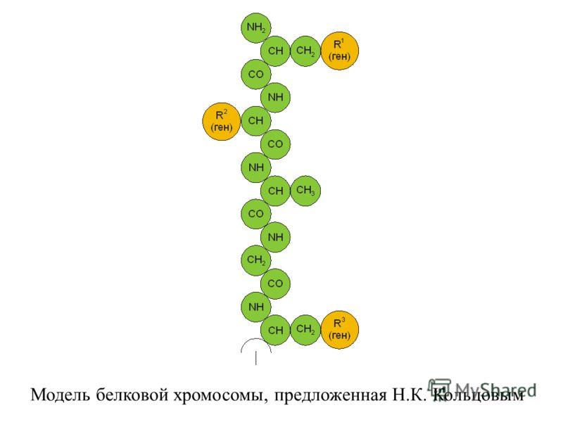 Модель белковой хромосомы, предложенная Н.К. Кольцовым