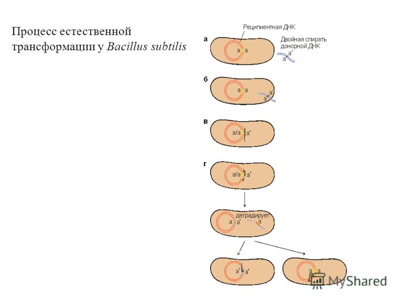 transformation genetics Transformation in bacteria soner efe loading the mechanism of transformation with competent cells - duration: genetics | biology - duration.
