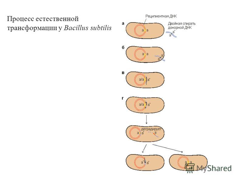 Процесс естественной трансформации у Bacillus subtilis