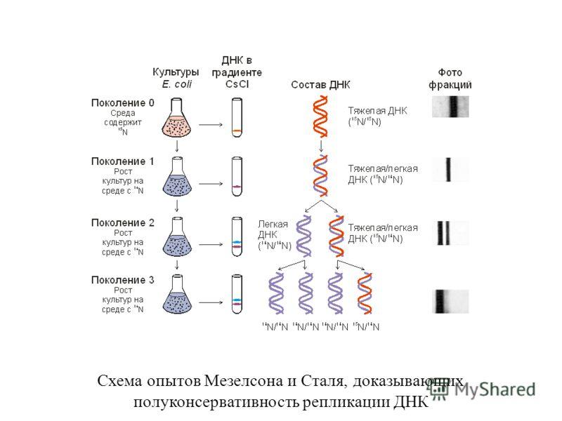 Схема опытов Мезелсона и Сталя, доказывающих полуконсервативность репликации ДНК