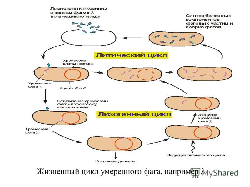Жизненный цикл умеренного фага, например λ
