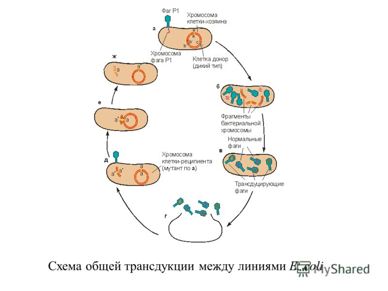 Схема общей трансдукции между линиями E. coli