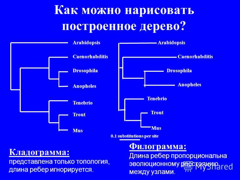 Филограмма: Длина ребер пропорциональна эволюционному расстоянию между узлами. Кладограмма: представлена только топология, длина ребер игнорируется. Arabidopsis Caenorhabditis Drosophila Anopheles Tenebrio Trout Mus 0.1 substitutions per site Arabido