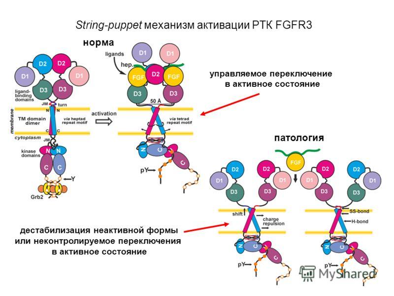String-puppet механизм активации РТК FGFR3 норма патология управляемое переключение в активное состояние дестабилизация неактивной формы или неконтролируемое переключения в активное состояние