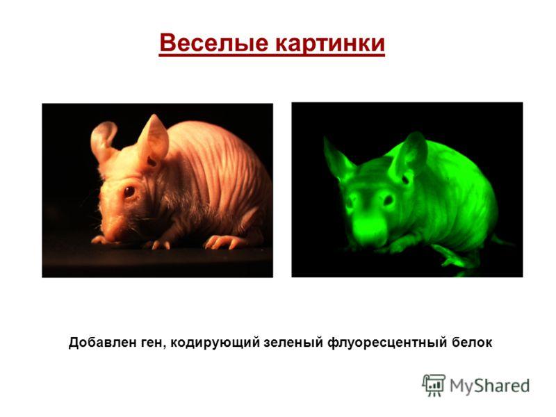 Веселые картинки Добавлен ген, кодирующий зеленый флуоресцентный белок