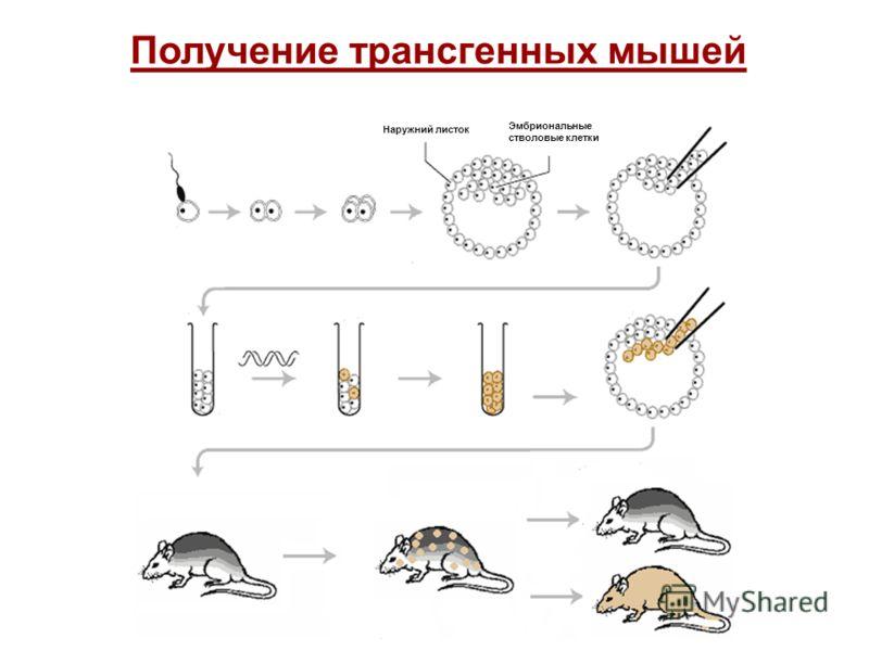 Наружний листок Получение трансгенных мышей Эмбриональные стволовые клетки