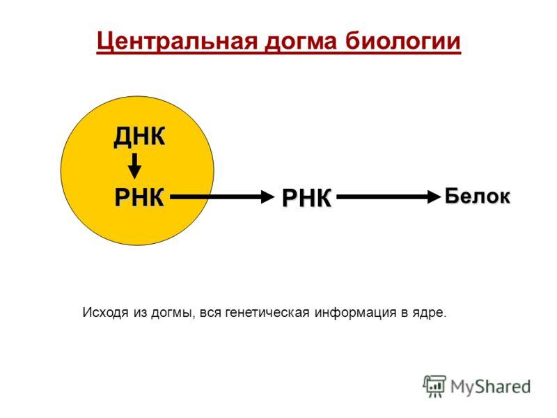 Центральная догма биологии Белок ДНК РНК РНК Исходя из догмы, вся генетическая информация в ядре.