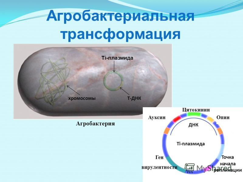 Агробактериальная трансформация Ti-плазмида Т-ДНКхромосомы Агробактерия Ti-плазмида Ген вирулентности Цитокинин Опин ДНК Точка начала репликации Ауксин