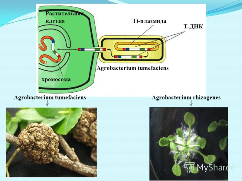 Растительная клетка Agrobacterium tumefaciens Ti-плазмида хромосома Т-ДНК Agrobacterium tumefaciensAgrobacterium rhizogenes