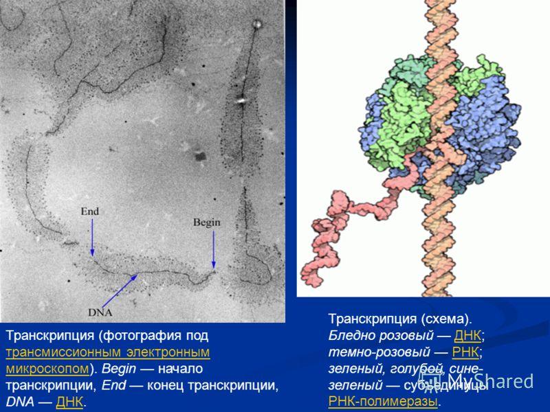 Элонгация транскрипции Момент перехода РНК-полимеразы от инициации транскрипции к элонгации точно не определен. Три основных биохимических события характеризуют этот переход в случае РНК-полимеразы кишечной палочки: отделение сигма-фактора, первая тр