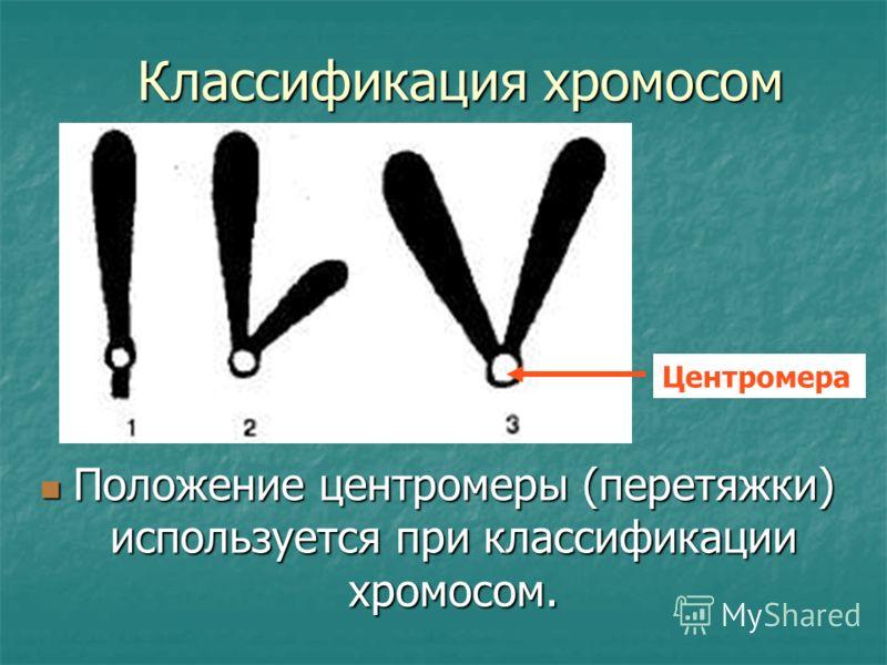 Классификация хромосом Положение центромеры (перетяжки) используется при классификации хромосом. Положение центромеры (перетяжки) используется при классификации хромосом. Центромера