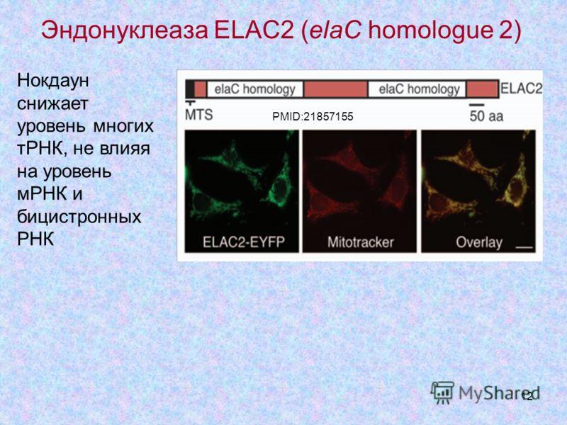 12 Эндонуклеаза ELAC2 (elaC homologue 2) Нокдаун снижает уровень многих тРНК, не влияя на уровень мРНК и бицистронных РНК PMID: 21857155 PMID: 21857155 PMID:21857155
