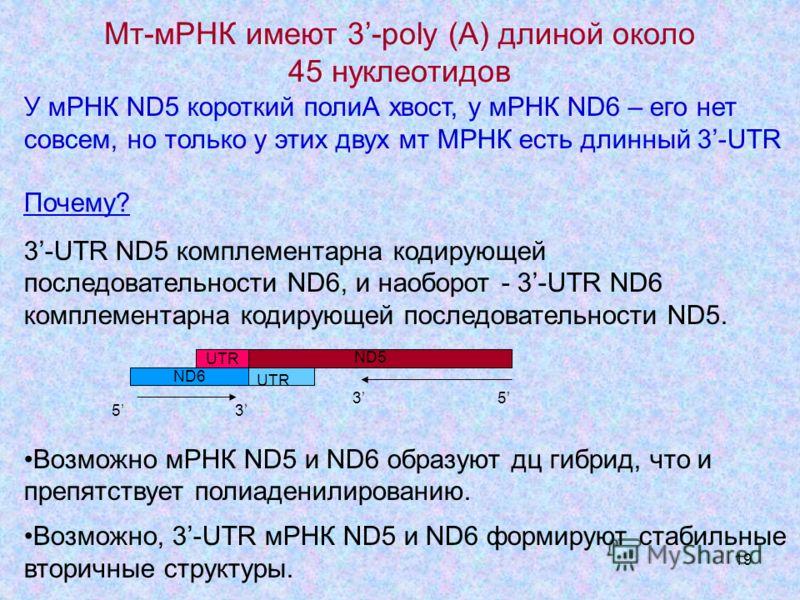 19 Мт-мРНК имеют 3-poly (A) длиной около 45 нуклеотидов У мРНК ND5 короткий полиА хвост, у мРНК ND6 – его нет совсем, но только у этих двух мт МРНК есть длинный 3-UTR Почему? 3-UTR ND5 комплементарна кодирующей последовательности ND6, и наоборот - 3-