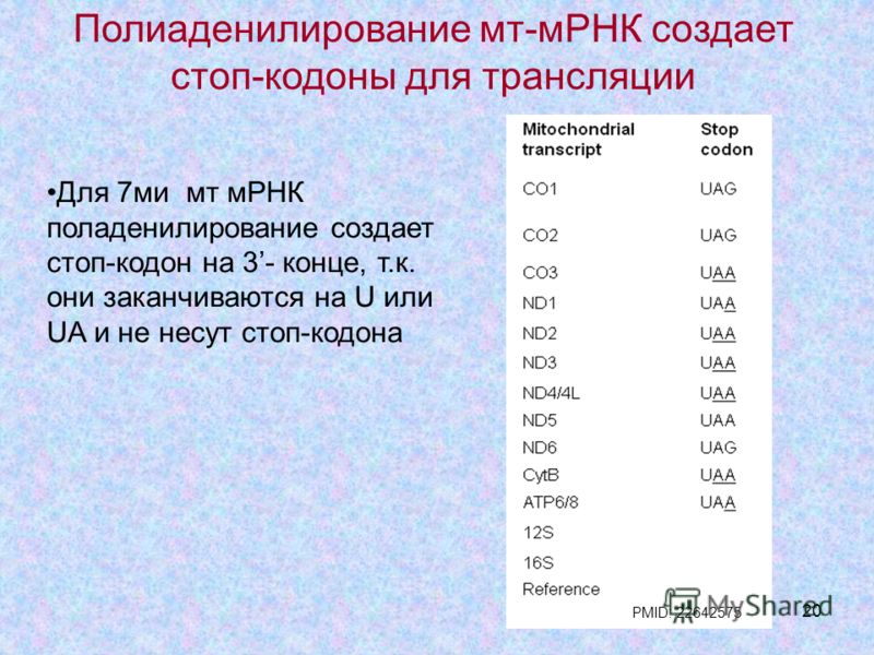 20 Полиаденилирование мт-мРНК создает стоп-кодоны для трансляции Для 7ми мт мРНК поладенилирование создает стоп-кодон на 3- конце, т.к. они заканчиваются на U или UA и не несут стоп-кодона PMID: 22642575