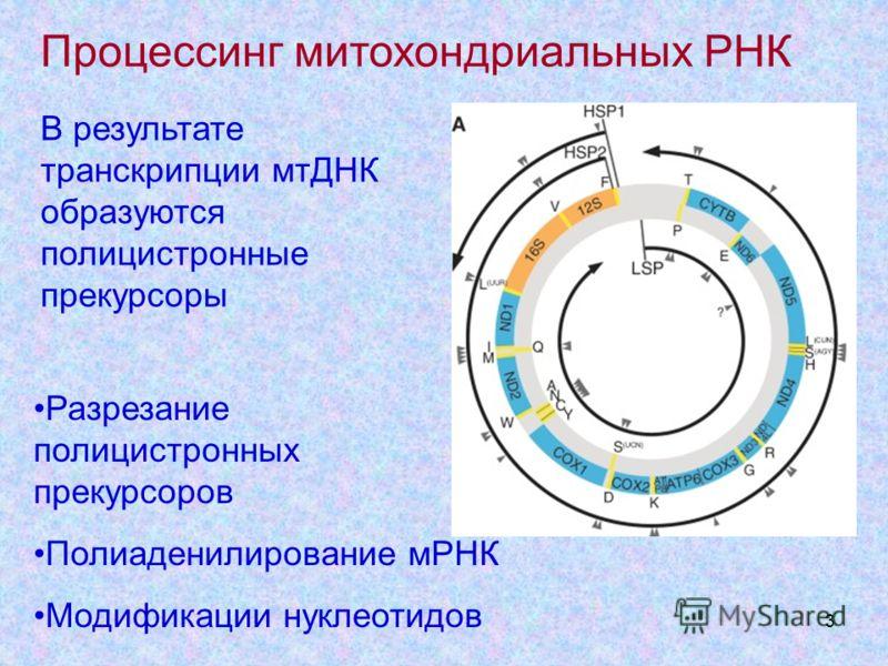 3 Процессинг митохондриальных РНК Разрезание полицистронных прекурсоров Полиаденилирование мРНК Модификации нуклеотидов В результате транскрипции мтДНК образуются полицистронные прекурсоры