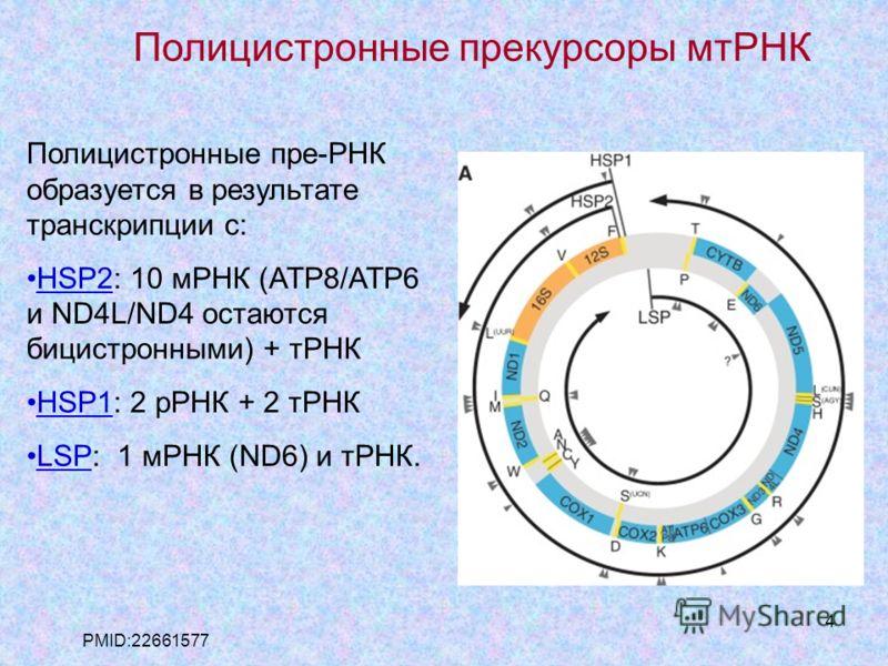 4 Полицистронные пре-РНК образуется в результате транскрипции с: HSP2: 10 мРНК (ATP8/ATP6 и ND4L/ND4 остаются бицистронными) + тРНК HSP1: 2 рРНК + 2 тРНК LSP: 1 мРНК (ND6) и тРНК. PMID:22661577 Полицистронные прекурсоры мтРНК