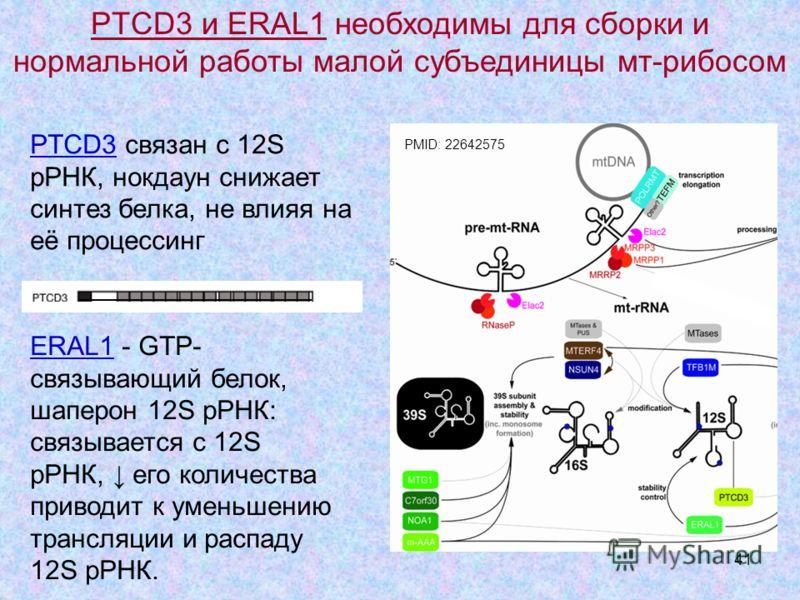 41 PTCD3 связан с 12S рРНК, нокдаун снижает синтез белка, не влияя на её процессинг PMID: 22642575 ERAL1 - GTP- связывающий белок, шаперон 12S рРНК: связывается с 12S рРНК, его количества приводит к уменьшению трансляции и распаду 12S рРНК. PTCD3 и E