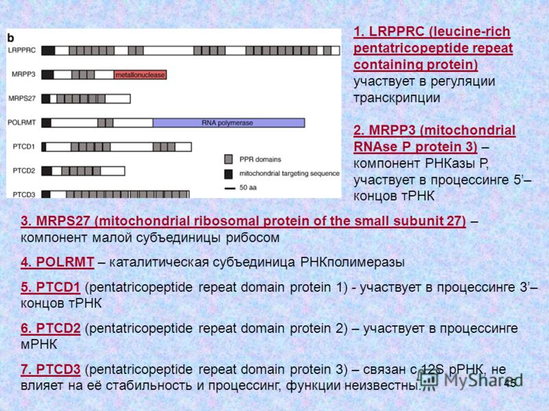 45 3. MRPS27 (mitochondrial ribosomal protein of the small subunit 27) – компонент малой субъединицы рибосом 4. POLRMT – каталитическая субъединица РНКполимеразы 5. PTCD1 (pentatricopeptide repeat domain protein 1) - участвует в процессинге 3– концов
